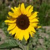 sunflower600x297